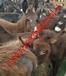 万州肉驴出售肉驴仔价格华旺特种养殖场