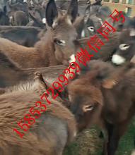 玄武肉驴崽出售肉驴养殖基地华旺特种养殖场图片