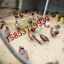 新乐野鸡出售山鸡价格华旺特种养殖场图片