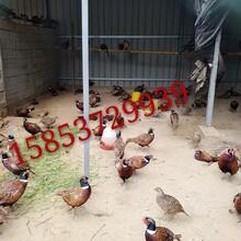 这里有山鸡出售野鸡养殖场七彩山鸡华旺特种养殖场图片