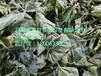 桑葚茶真空冷冻干燥机