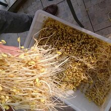 豆芽机多少钱一台哪里有豆芽机卖豆芽技术全自动商用豆芽机图片