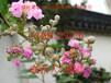 苏州紫薇树、紫薇花、苏州市庭院别墅绿化、苏州厂区工厂绿化