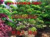 苏州造型黄杨、造型小叶黄杨树、瓜子黄杨树桩盆景、苏州造型树苗圃基地