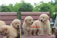 东莞耀星犬舍纯种金毛幼犬出售