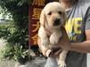 东莞耀星犬舍-拉布拉多出售-本地犬舍,实体犬舍