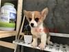 东莞耀星犬舍出售三针疫苗齐全的-柯基-幼犬包纯种健康包养活