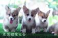 深圳出售純種《柯基犬》《雙色三色柯基犬》保證健康