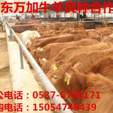利木赞牛养殖图片