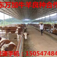 养殖肉牛肉羊关键得到养殖技术图片
