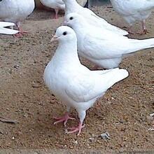 武汉肉鸽养殖场图片