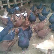 西安肉鸽养殖场图片