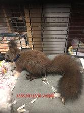 魔王松鼠养殖方法,哪里由养殖松鼠的养殖场图片