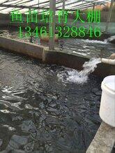 河南八胡鲶鱼苗服务全国渔农供应优质鲶鱼苗图片
