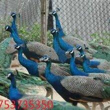 娄底市出售蓝孔雀
