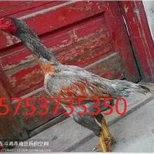 汝南县哪里卖母斗鸡图片