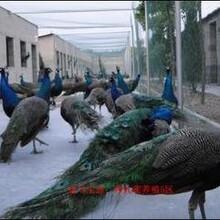 北戴河出售蓝孔雀图片