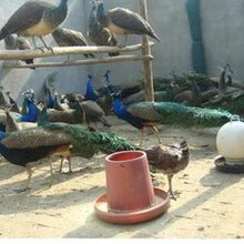 益阳市出售蓝孔雀