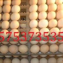 斗鸡蛋一个怎么卖图片