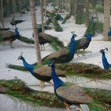 一对孔雀一对蓝孔雀