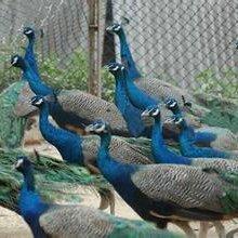 蓝孔雀市场买卖多少钱