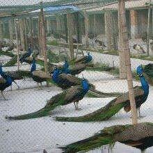 温州蓝孔雀价格
