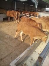广东鲁西黄牛养殖图片