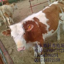 最近三元杂交母牛多少钱一头图片