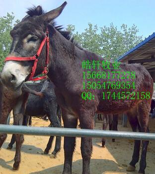 蒙古马矮脚马