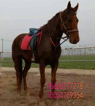 马驹骑乘马三河马矮马