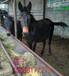 长治技术视频养驴的利润肉驴养殖德州驴改良
