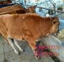 全红色的小肉牛犊多少钱-育肥牛饲养图片