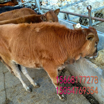 鸡西优质青山羊白山羊品种齐全杜泊绵羊批发肉质量高