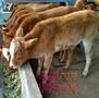 广州肉牛犊价钱-一头夏洛莱200多斤的牛多少钱图片