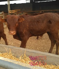 牛养殖基地买牛有优惠图片