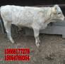 农村养殖肉牛前景-夏洛莱改良牛养殖一天成本多少图片