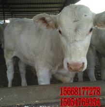 肉牛常见病的治疗-肉牛犊养殖图片