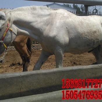 蒙古马养殖场/四个牙的马多少钱