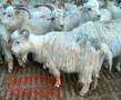 近期山羊价格山羊几个月受孕的图片