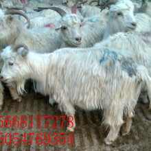 近期山羊價格山羊幾個月受孕的圖片