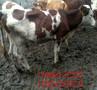 肉牛犊行情-养牛-牛冻精价格图片