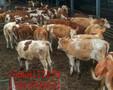 牛拉稀见效快的偏方-牛容易生病吗?图片