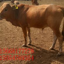 顺平育肥肉牛安格斯牛一年长多少斤图片