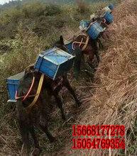 榆林骡子养殖场-马骡驮货物一天能走多少公里图片