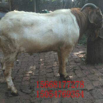 波尔山羊养殖场/波尔三阳种羊多少钱