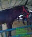 北京德州驴杂交驴肉驴仔