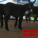 安徽省德州驴杂交驴