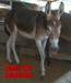 福建省德州驴杂交驴肉驴仔