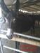 河北省德州驴杂交驴