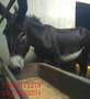 湖北省德州驴杂交驴图片